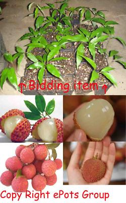 Lychee Tree Edible Fruit Plant Exotic Tropical BONSAI! on