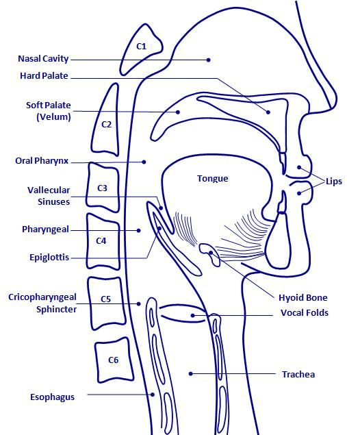 Oropharyngeal anatomy Medical SLP things Pinterest