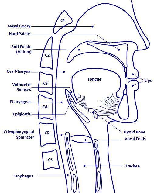 Oropharyngeal anatomy | Medical SLP things | Pinterest | Anatomy ...