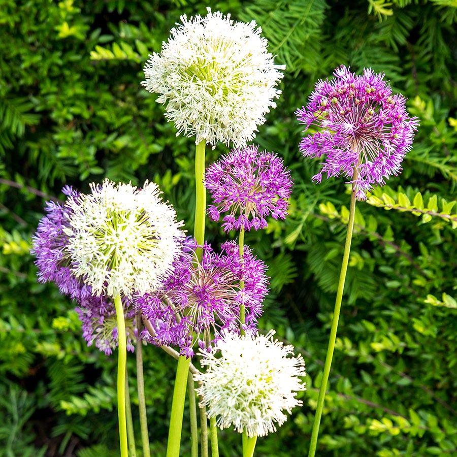 1e131d03e151b9 Allium Blau   Weiß Gladiator und Mount Everest - Neuheiten online kaufen    bestellen Tom Garten
