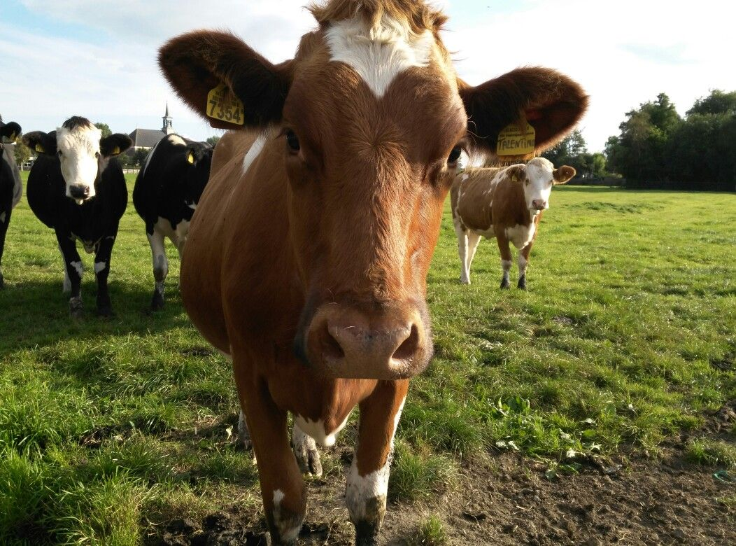 What is cattle and how to recognize it