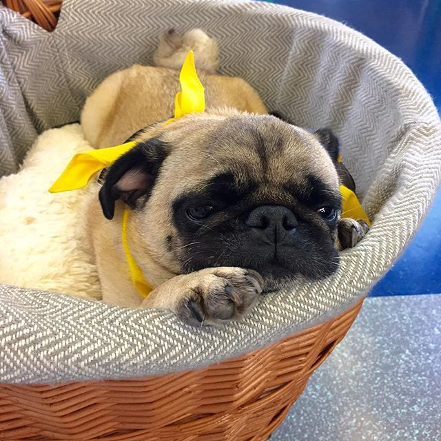 Morning commute 🚂 Off to The National Pet Show. Join me for story time 📚 and pug hugs if you're there! See you in the Kid's Zone 💝🐶💝 #dougthepugtherapydog #thenationalpetshow #nationalpetshow #londonexcel #nationalpetshow2016 #thenationalpetshow2016 #petsastherapy