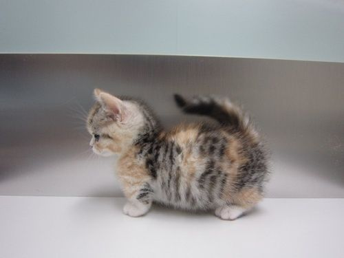 Baby Munchkin Cat. Look At The Cute Stubby Legs!