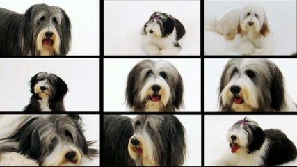 Dog Breeds A K Dogs 101 Animal Planet Bearded Collie