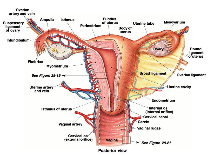 Woman reproductive system sectional view in detail - www.anatomynote ...