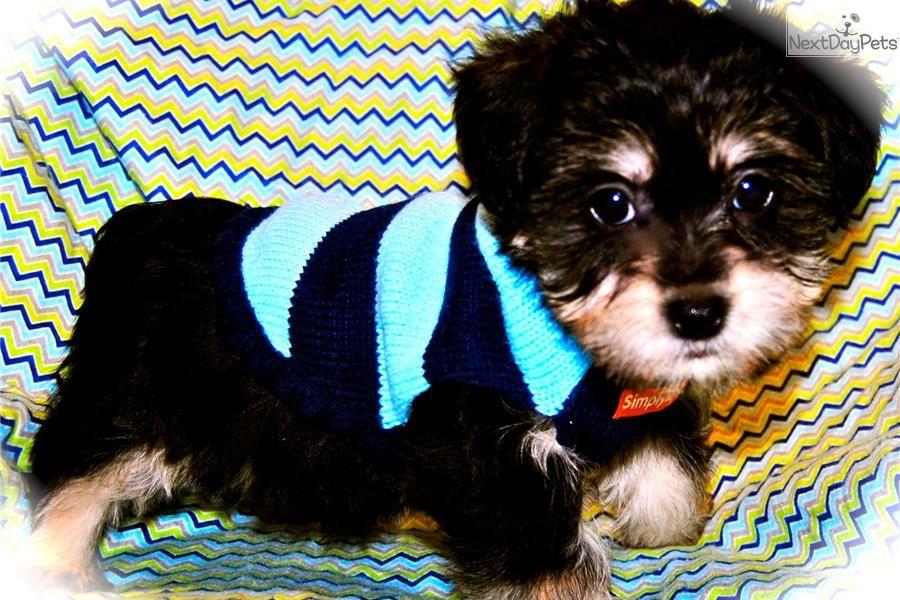 ROMEO Morkie puppy for sale in Dallas area Morkie