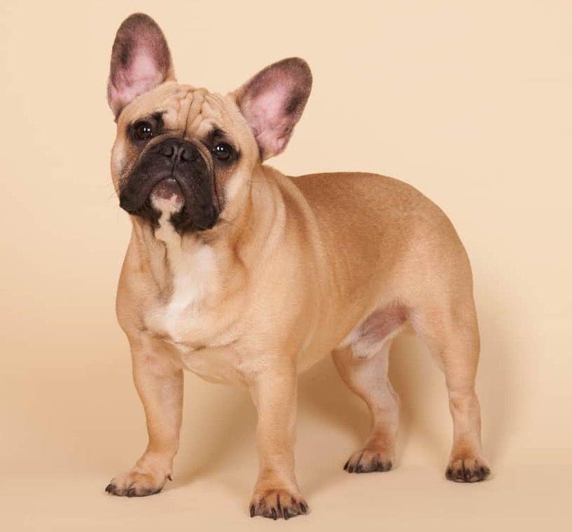 Pin On French Bulldog General Info