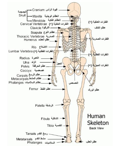رائع شرح جسم الإنسان للطفل الهيكل العظمى و القفص الصدرى و المخ و الجهاز الهضمى بالصور والفيديو Thoracic Vertebrae Arabic Kids Thoracic