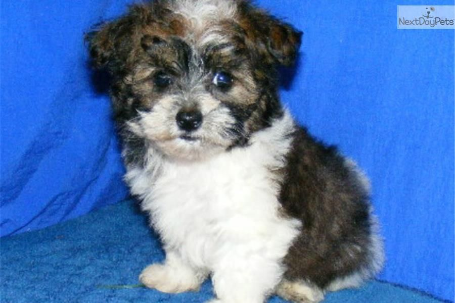 Meet Pixie A Cute Malti Poo Maltipoo Puppy For Sale For 400