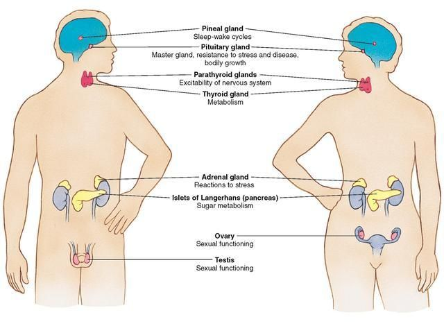 Endocrine System Includes Glands That Secrete Hormones That