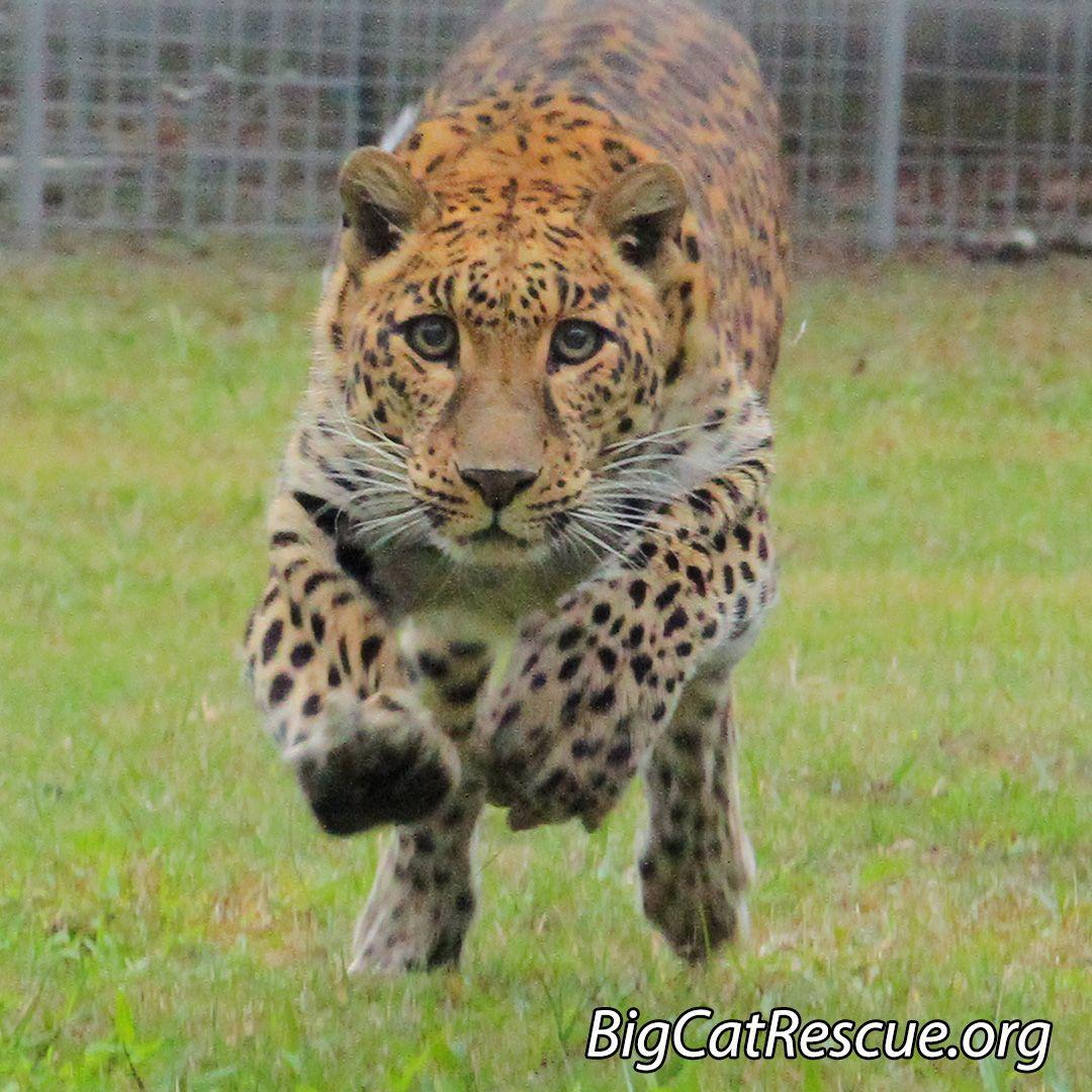 Sundari leopard appears to be racing toward the weekendwhat are
