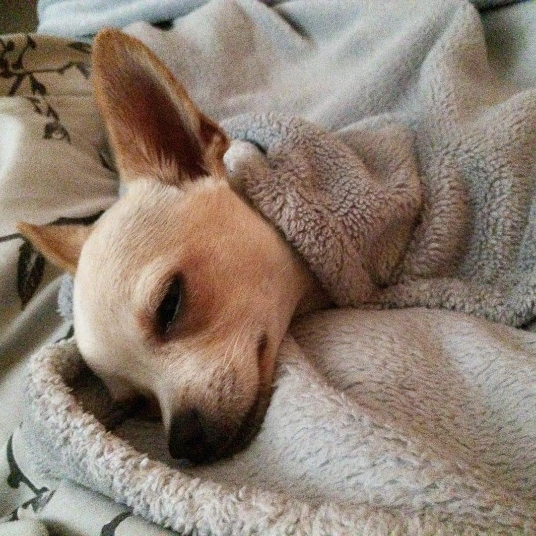 Resultado de imagen para chihuahua sleeping owner
