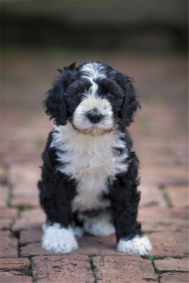 Portuguese Water Dog Information And Pictures In 2020 Portuguese Water Dog Puppy Portugese Water Dogs Water Dog Breeds