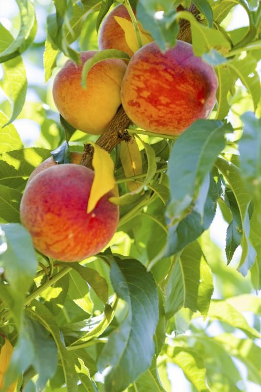 How To Take Care Of Peach Trees Hunker Growing Peach Trees Fruit Garden Peach Tree Care