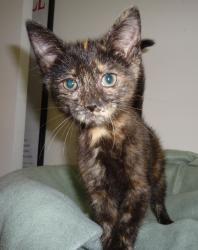 Adopt Hanora On Cat Adoption Little Kittens Animals