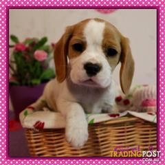 View All Dogs For Sale In Nsw Australia Beaglier Puppies For
