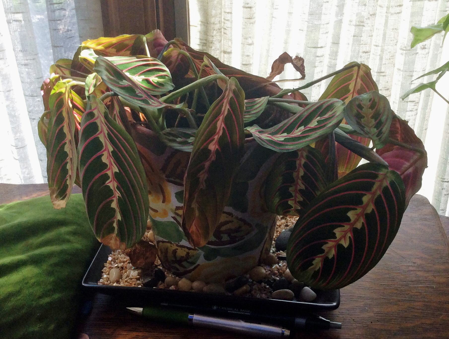 Yellowing Leaves On Prayer Plant How To Fix Yellow Maranta Foliage Prayer Plant Plants Plant Leaves Turning Yellow