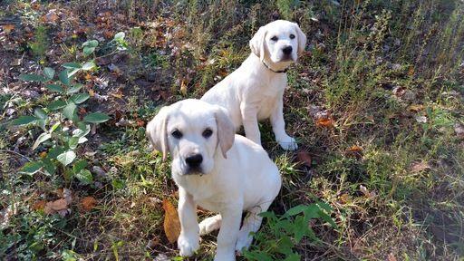 Litter Of 9 Golden Labrador Puppies For Sale In Due West Sc Adn