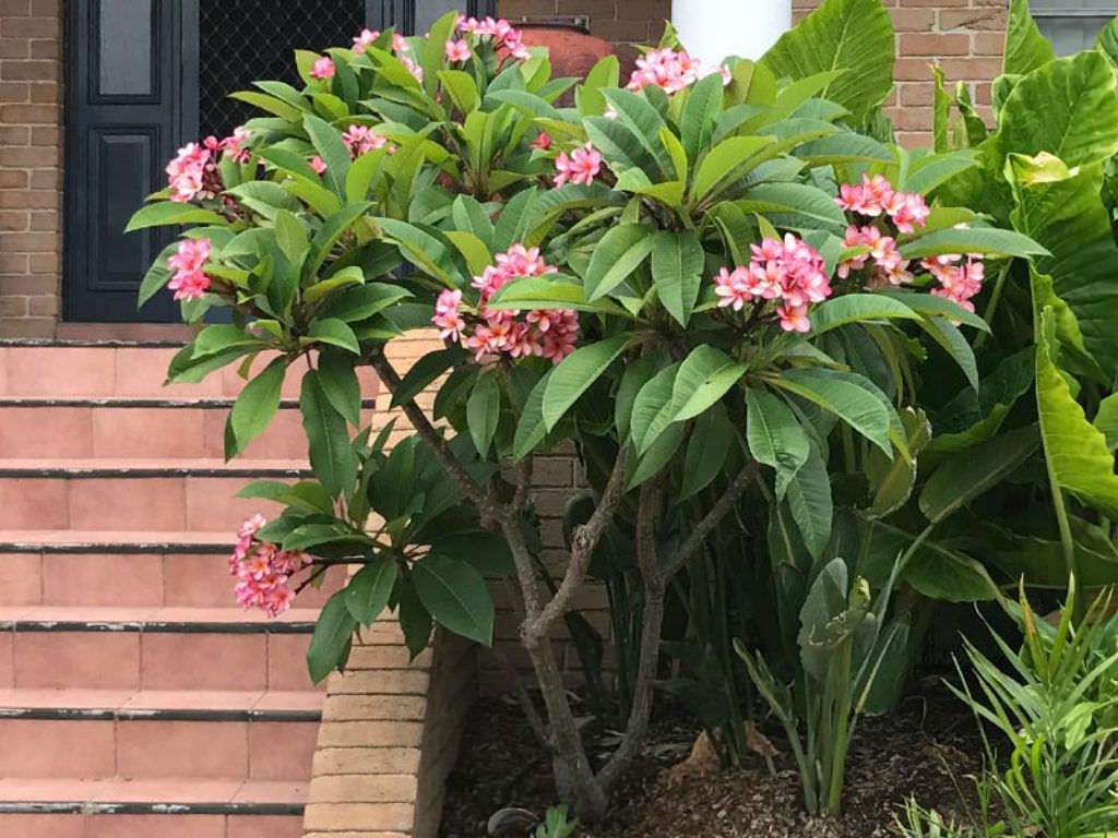Plumeria Rubra Frangipani Is A Delightful Small Tree For A Garden With A Semi Tropical Look It Grows A Backyard Plants Planting Flowers Garden Plants Design