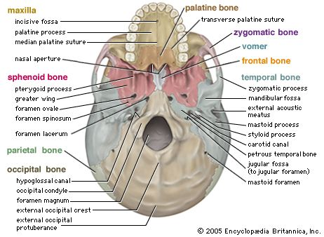 Image Detail For Printable Free Bones Human Muscular Skeletal