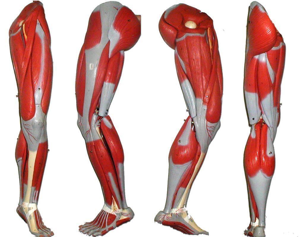 Anatomy Lower Leg
