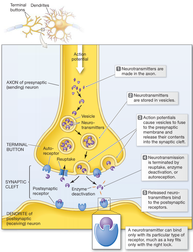 neurotransmission process step by step - Google Search | school ...