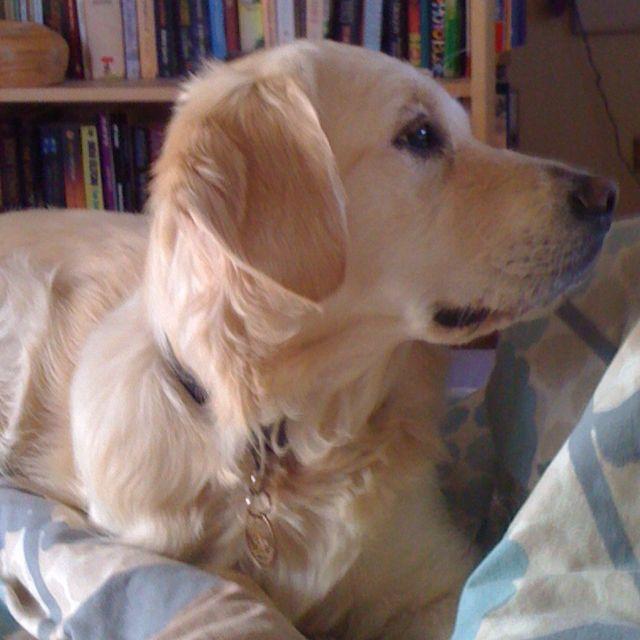 Ingrid, the golden retriever.