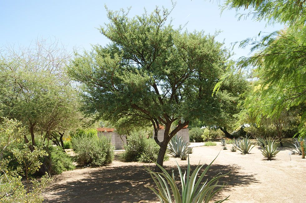 Acacia Gerrardii Grey Haired Acacia Non Native Cold Deciduous Tree White Thorns Especially When Young Can Be Used Deciduous Trees Xeriscape Tucson Sunset
