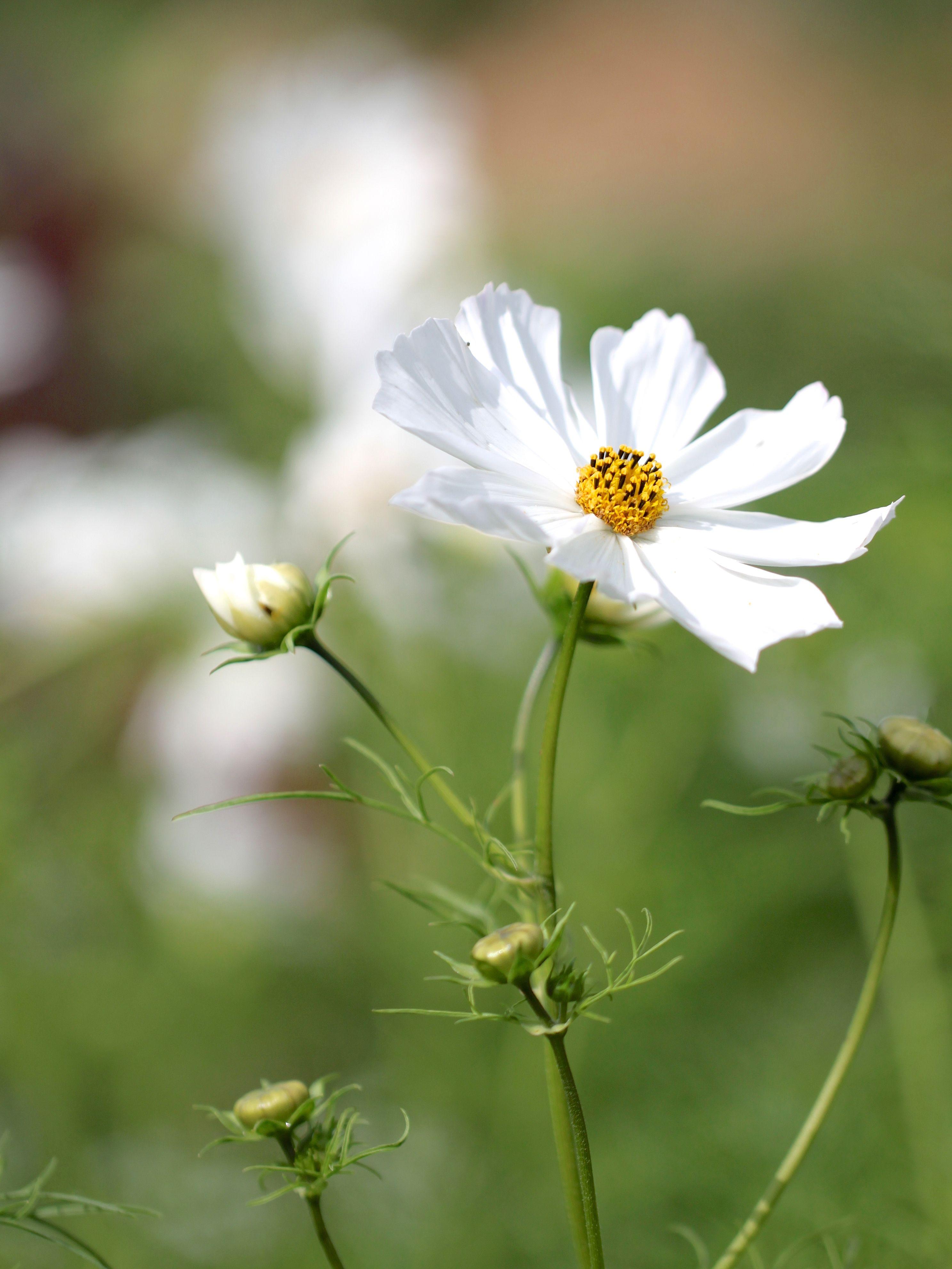 Resultado De Imagem Para Cosmos Flower Kwiaty I Ogrody Pinterest