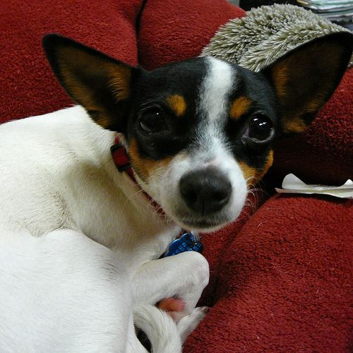 A Wild Week Of Rescue Dog Blog Toy Fox Terriers Rat Terriers
