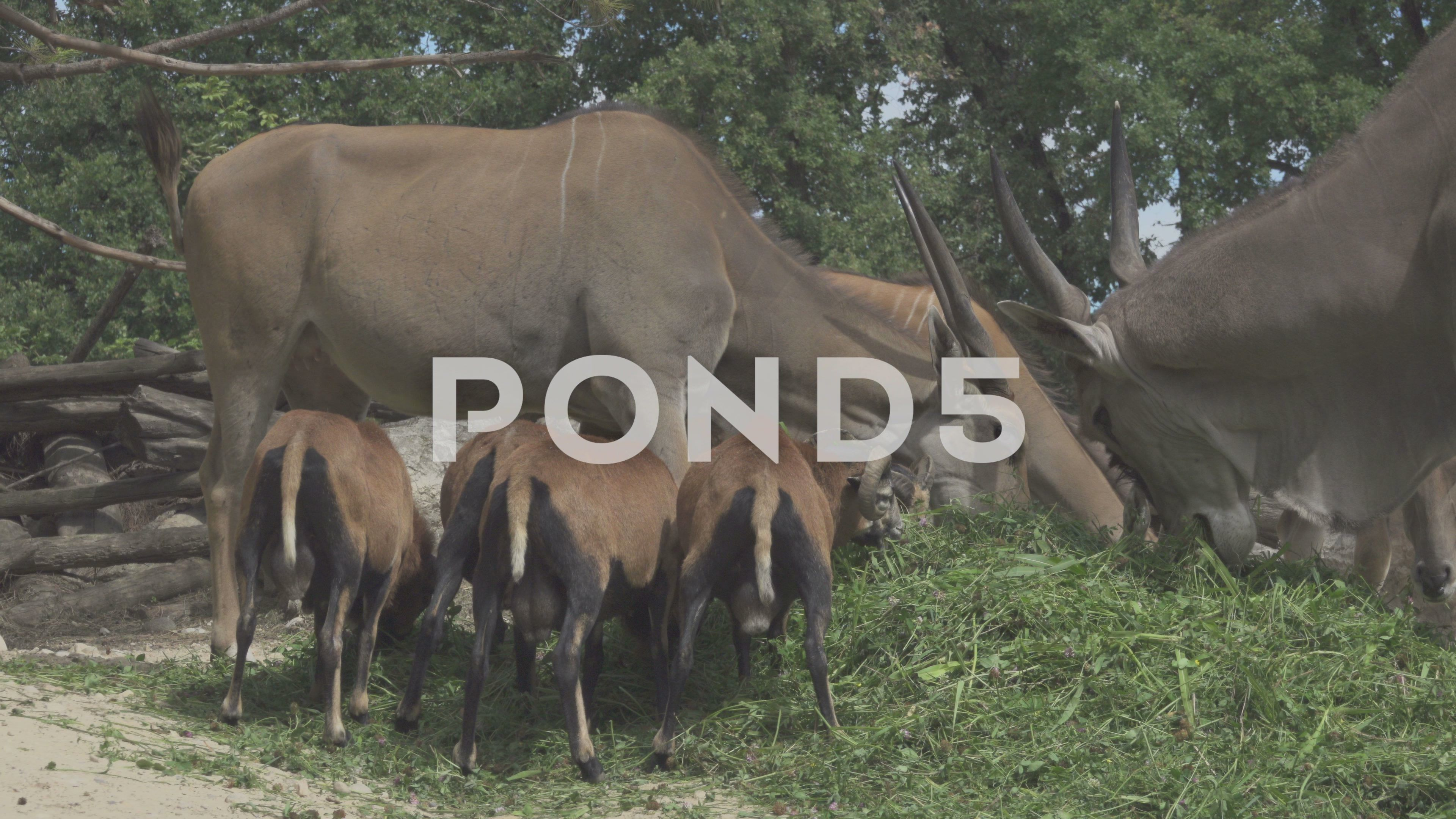 Herbivorous Animals in a Zoo Eating Stock Footage,Zoo