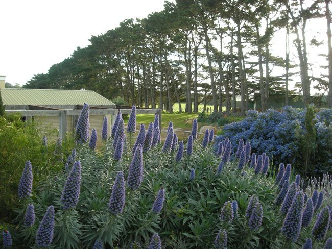 One of my very favourite plants - Echiums. Bees love them ...
