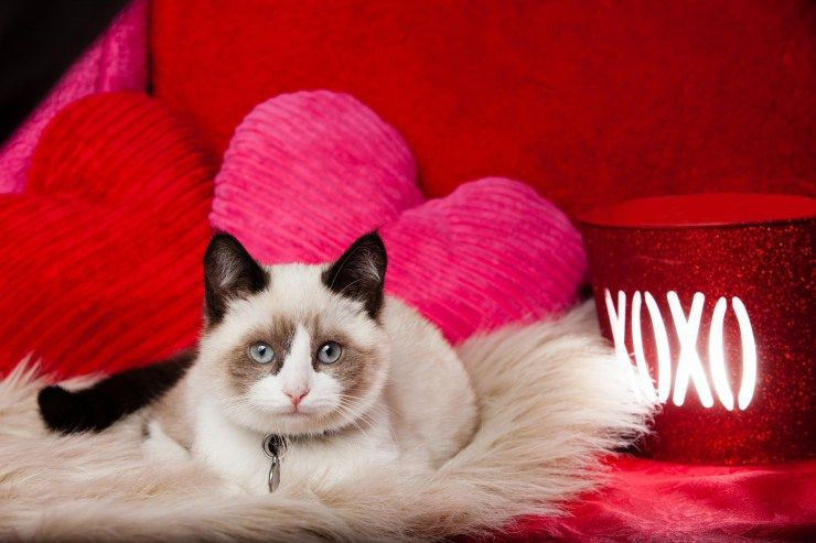 10 telltale signs that your cat loves you valentines