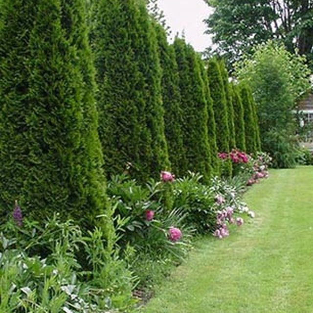 Trees For Small Backyard: How To Space A Privacy Fence Using Arborvitae Pyramidalis