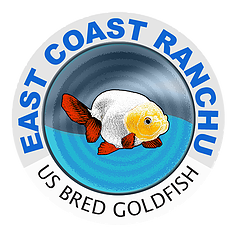 East Coast Ranchu Is A Ranchu Oranda Goldfish Online Store These Goldfish Are Bred In The Us From High End Thai Goldfish For Sale Goldfish Oranda Goldfish