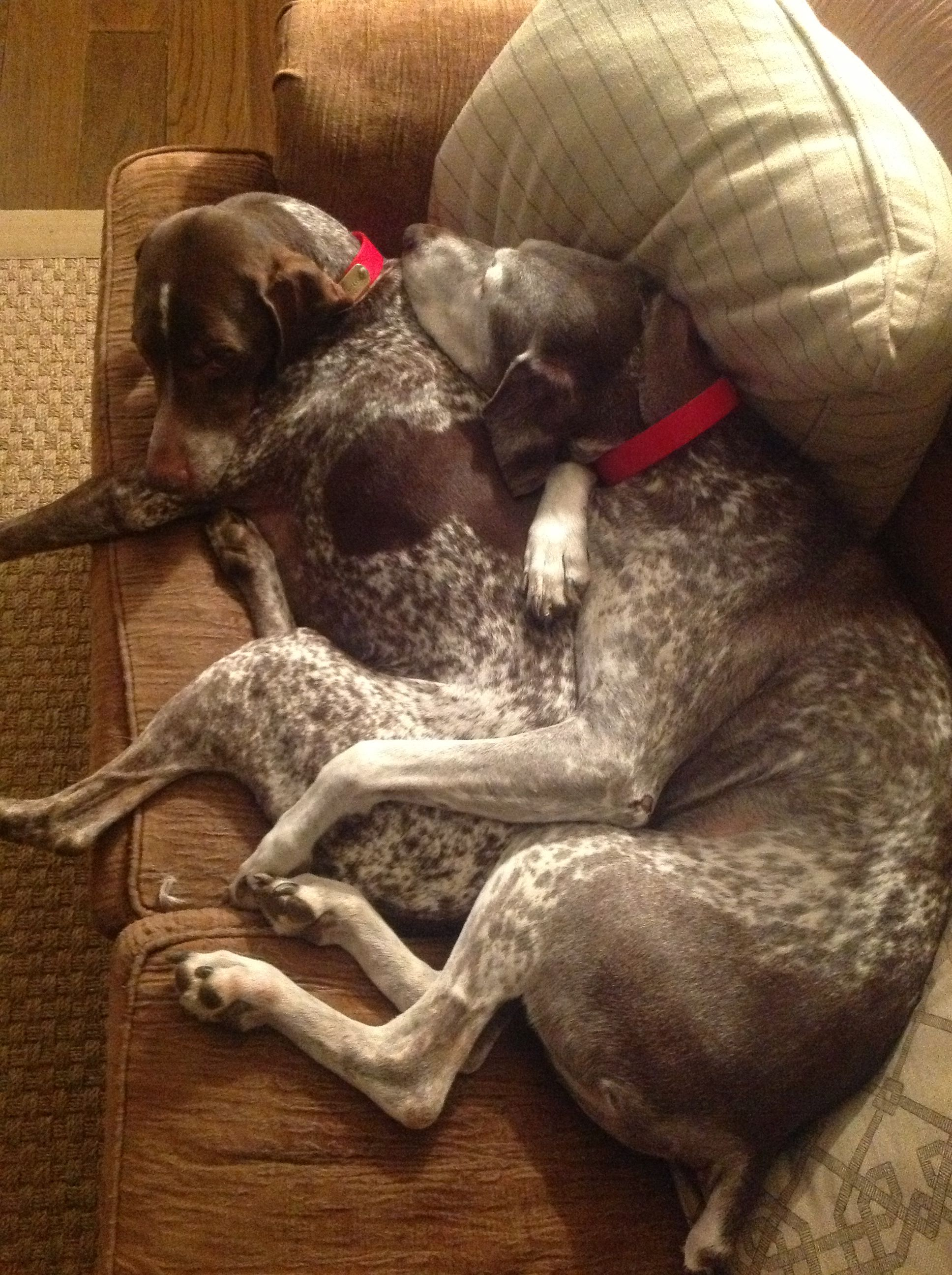 Gsp Snuggles The Best Kind German Shorthaired