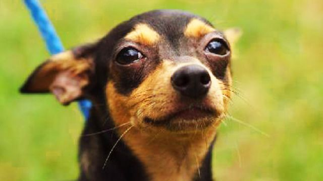 The Min Pin Chihuahua Mix Is Awesome Here S Why Chihuahua