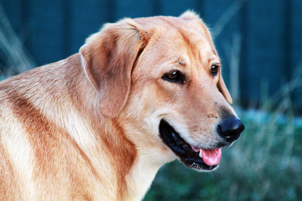 what is the best dog food for my labrador