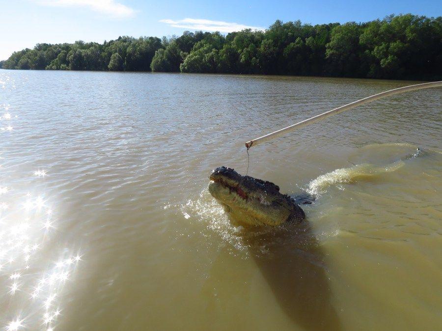 crocodilo rio adelaide