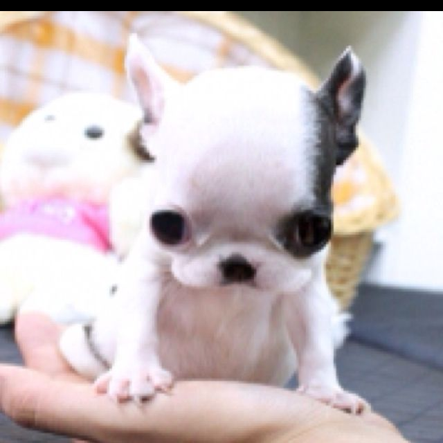 Teacup French Bulldog So Cute Creatures White French
