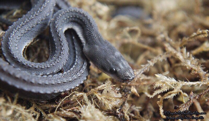 Xenodermus javanicus, also known as the Dragonsnake, Javan ...  Tubercle Snake