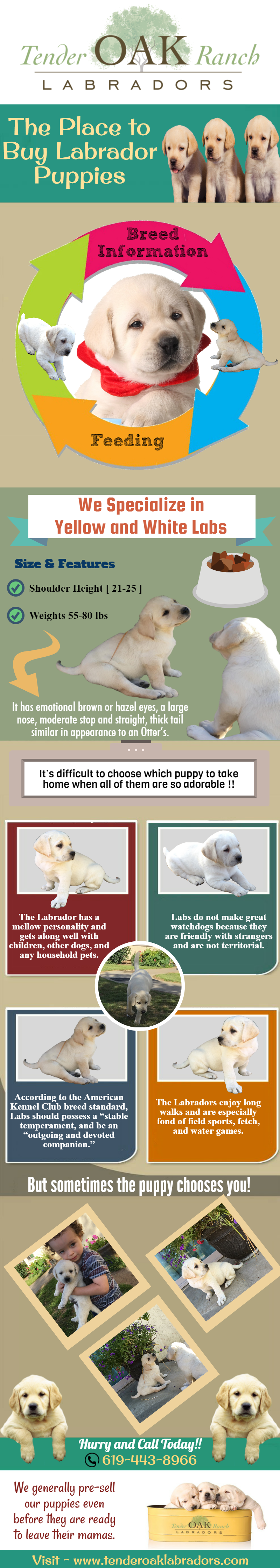 Yellow Lab Puppy For Sale In San Diego Yellow Lab Puppies Lab Puppies Labrador Puppies For Sale