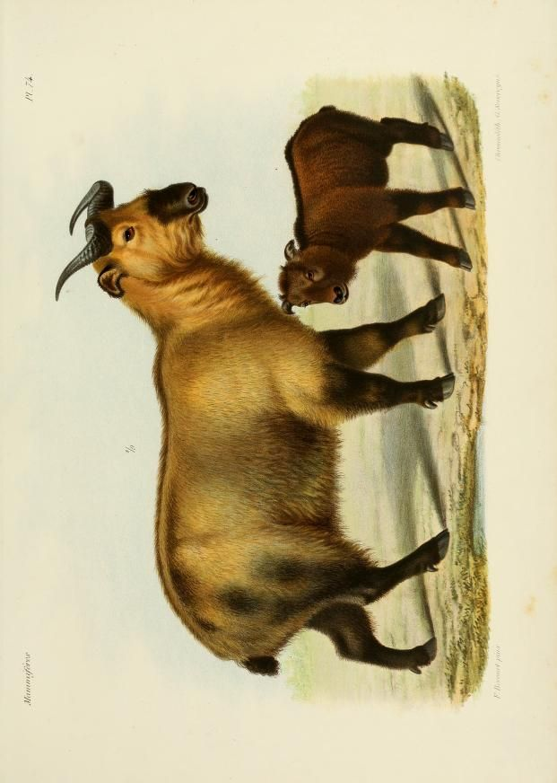 Recherches pour servir à l'histoire naturelle des mammifères. t.2 (1868-1874) [Atlas]. Biodiversity Heritage Library. Digitized by Smithsonian Libraries. http://biodiversitylibrary.org/page/39564466.