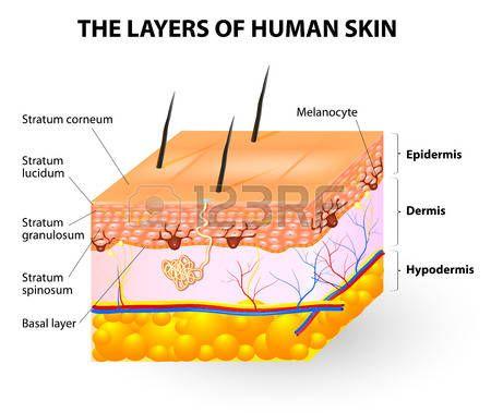 Celular en la epidermis. capas de epidermis. Estructura de la piel ...