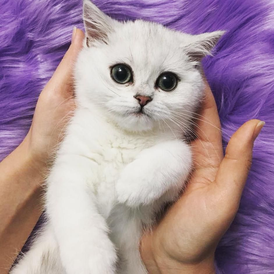 My New Affection Cat Cutecat Britishshorthair Kitten British Shorthair Kittens Kittens British Shorthair