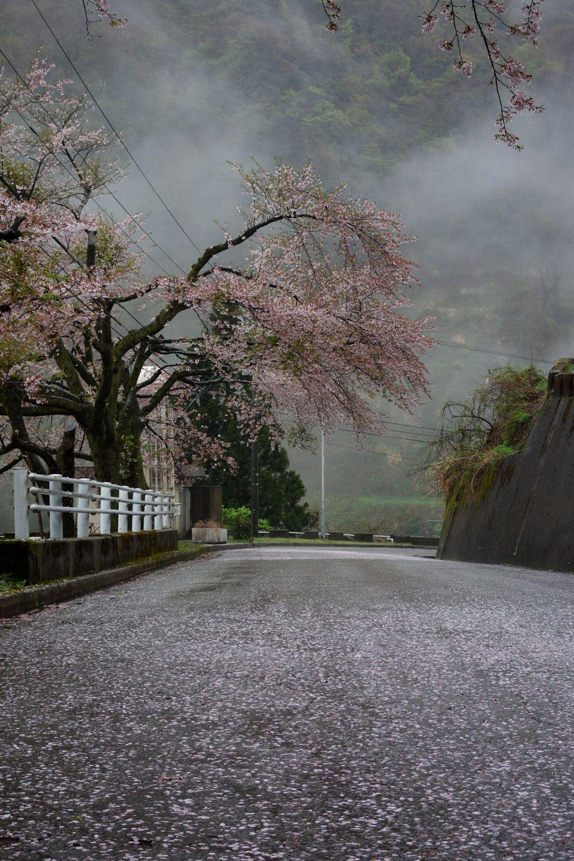 旧市街中心部からクルマで10分ちょっと・・の内川ダム周辺。雨に濡れて桜がいっそう美しい。