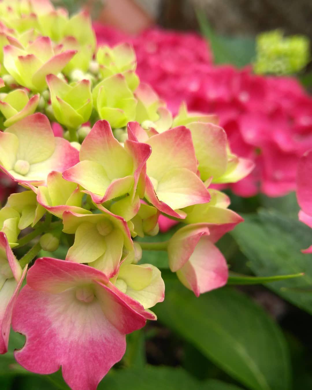 Einen wunderschönen Blütenmontagabend und einen tollen Start in die Woche 🌸 .  #hortensie #blütenknospen #naturpur #meingarten