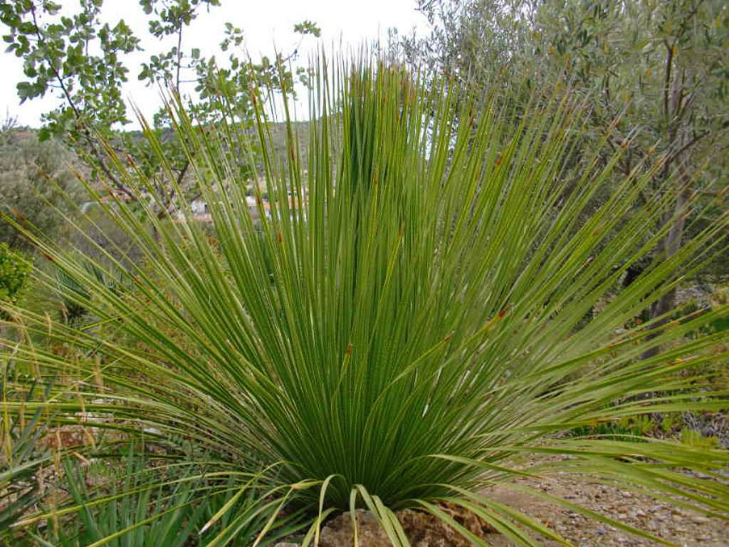 Dasylirion Texanum Texas Sotol Plants Ornamental Plants
