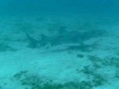 Lemon Shark Migration in Jupiter diving with Jupiter Dive Center