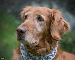 Brownie Is An Adoptable Golden Retriever Dog In Newfoundland Nj Dogs Golden Retriever Dog Id Golden Retriever